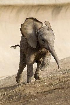 Art Print featuring the photograph African Elephant Calf Running by San Diego Zoo Animals And Pets, Baby Animals, Cute Animals, Baby Elephants, Wild Animals, Beautiful Creatures, Animals Beautiful, Elefante Dumbo, Elephas Maximus