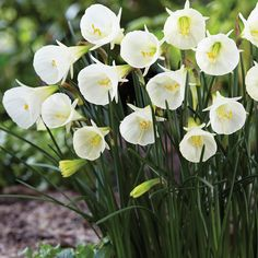 This fragrant, bulbcodium variety is the largest of the hoop-petticoat narcissus. Stark white, cone-shaped cups with grass-like foliage make this a perfect addition to rock gardens, beds, and low borders. Spring Garden, Home And Garden, Summer Bulbs, Downers Grove, Bulb Flowers, Get Outside, Daffodils, Spring Flowers, Dahlia