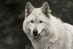 Some people say that animals don't smile. I dunno - this guy might be an exception. Gray Wolf, Grey, Wolf Face, Red Riding Hood, Wolves, Cute Dogs, Husky, Smile, Animals