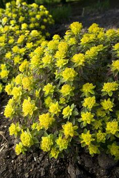 Perennial Resource--Information and Inspiration for Today's Gardeners. Deer Resistant Plants, Orange Leaf, Landscaping Plants, Cool Landscapes, Spring Green, Season Colors, Deep Purple, Perennials, Perennial