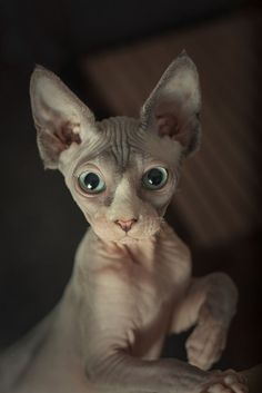 """(12 Reasons Why You Should Never Own Sphynx Cats) * *^ """" ME DON'TS LIKE DE SOUND OF DAT. PEOPLES HAZ DER RIGHT TO CHOOSE. WUT DEY MEAN - ' NEVER ' OWN A SPHYNX CAT?'"""