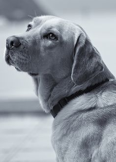 A Faithful Companion-GORGEOUS  Lab