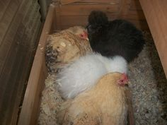 My four chickens.