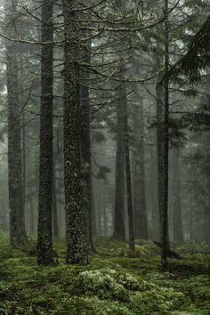 90377:   Summer Forest Fog by Mabry Campbell