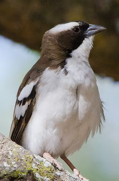White-browed Sparrow-Weaver (Plocepasser mahali) - a species of Old World Sparrow found throughout central & northcentral Southern Africa