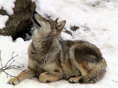 http://img00.deviantart.net/2218/i/2015/105/0/4/wolf_sit_in_the_snow_by_frost_crust-d8998yl.jpg