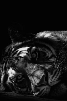 My World in Black and White Nature Animals, Animals And Pets, Funny Animals, Cute Animals, Wild Animals, Lion Wallpaper, Animal Wallpaper, Beautiful Cats, Animals Beautiful