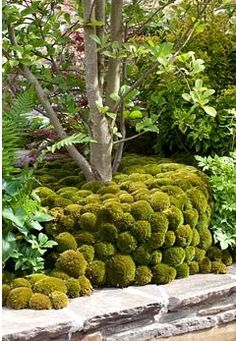 Tree underplanted by moss mounds in 'A Beautiful Paradise (Making memories wit. - Stock photo from GAP Gardens, garden & plant photography Landscaping Plants, Garden Inspiration, Hardscape, Plants, Garden In The Woods, Flowers, Moss Garden, Moss, Garden