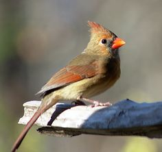 Female Cardinal by Chris Rada on 500px
