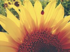 There's something about ladybirds and sunflowers that stirs a great humbleness and happiness in my soul. Maybe it's the colours, or perhaps even the fact that both are adorably day-brightening, but either way, I can't deny it. [: