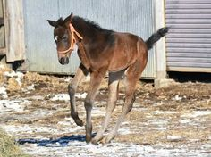 And it's a girl. First foal for GOLD SHIP. (6x Gr1 winner includ: Japanese 2000 Guineas/St Leger/Arima Kinen) was born over the course of last week,  How cute is she <3   Dam was a 9 time winner