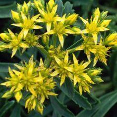 Sedum kamtschaticum var. floriferum Weihenstephaner Gold Stonecrop, low