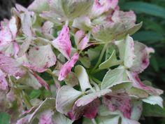 hortensia in de voortuin (2) Plants, Photos, Plant, Planting, Planets