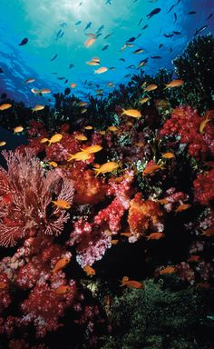 The most amazing coral reefs for diving and snorkelling in the world. For your Fiji vacations visit us: fijiresort.com
