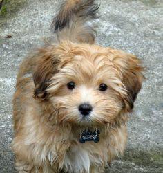 Rupert the Havanese, I just love this little Bear!!!