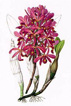 Botanical, Laelia superbiens