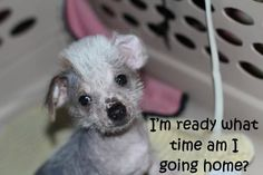 Hairless Chinese Crested /Havanese Male puppy