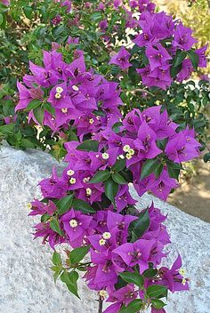Bougainvillea: a flower you will see frequently in Greece