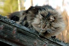 Norwegian forest cat, one of my favourite breeds because they are natural and not manufactured.