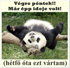 vicces képek péntek hazafele – Google Keresés Panda Bear, Get In Shape, Hanging Out, Health And Wellness, Animals, Bears, Chill, Humor, Google