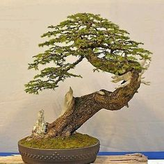 857 Likes, 6 Comments - kayseri bonsai /TURKEY (@kayseribonsai) on Instagram