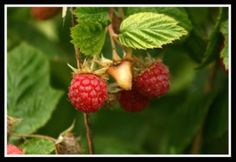Raspberry Plant Care  Watering, Fertilizing, Spraying,  Winterizing, Pruning Raspberry Plants