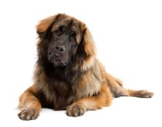 Leonberger-I discovered these guys when Emmy was 8 weeks old in her puppy class. The 10 week old puppy was already 60lbs! Now there's 2 folks in my obedience club with them. They are very cool.
