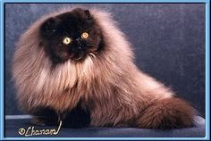 Noblessa Persians - Males Page