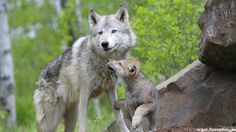 Baby Cub licking her Mother Wolf