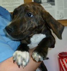 Honey 12/12/02 is an adoptable Plott Hound Dog in Stanton, MI. Honey is one lost puppy! She was found on December 3rd and brought to the shelter. She is a beautiful Plott Hound mix girl, about 3 mon...