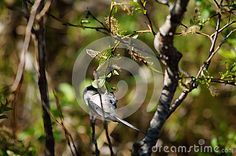 Black-Capped Chickadee Small Bird In Tree - Download From Over 26 Million High Quality Stock Photos, Images, Vectors. Sign up for FREE today. Image: 31716994