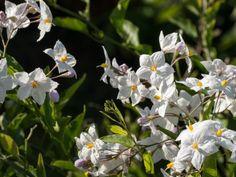 Der Sommerjasmin Solanum jasminoides gehört zu den Kübelpflanzen Stars und ist zum Glück sehr pflegeleicht. Wie Ihr ihn pflegt, zeigt Euch dieser Beitrag.