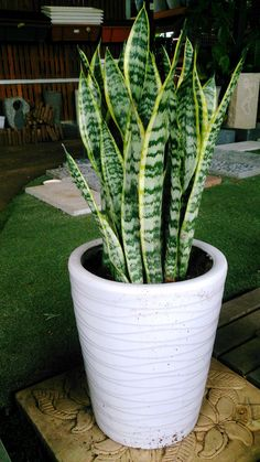 10 Houseplants That Can Survive Darkest Corner of Your House - Home Tropical Garden Plants Ideas For You Home DecorIdeas que mejoran tu vidaThe Snake Plant: Sansevieriea trifasciataIf you don't have a home or office with lots of sun, find Sansevieria Trifasciata, Outdoor Plants, Garden Plants, Porch Plants, Balcony Gardening, Plants Indoor, Decoration Plante, Inside Plants, Container Gardening