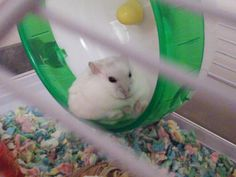 20 Reasons Hamsters Should Be Your New Heroes Cute Hamsters, Dwarf Hamsters, Funny Rats, Anatole France, Cute Animals, Small Animals, Chinchilla, Guinea Pigs, Squirrel