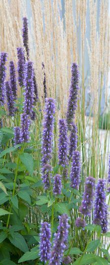 Agastache icm siergras Foto van Studio Toop - Strandtuin in vinexwijk Landscape Design, Garden Design, Drought Tolerant Landscape, Ornamental Grasses, Cool Plants, Native Plants, Blue Flowers, Shrubs, Perennials