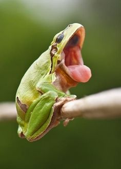 Frog | Interesting Pictures - Frogs DO NOT YAWN--If they do, its a sign that something is wrong.