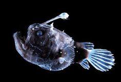 Peces Abisales  bioluminiscentes extraños raros