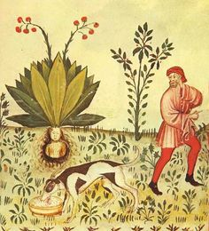 The mandrake is a plant whose fruit, leaves, and large root have medicinal properties, many of them narcotic. From ancient times, its medicinal effects have been known. Rituals and legends have become connected to the plant, a long-lived one is the association between the mandrake root and a dog.
