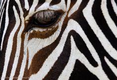 Grévy's Zebra, Lew Wildlife Conservancy, by Michael Poliza