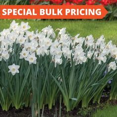 Narcissus / Daffodil Bulbs for Sale