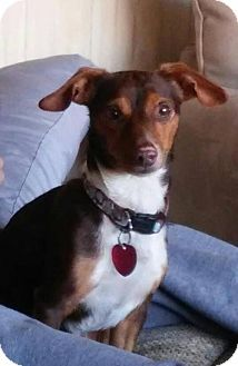 St. Charles, MO - Dachshund Mix. Meet Maynard, a dog for adoption. http://www.adoptapet.com/pet/17031392-st-charles-missouri-dachshund-mix