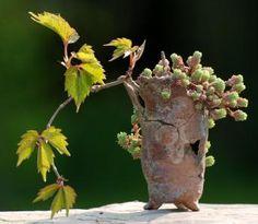Une petite vigne dans un pot de Patrice Bongrand (hauteur 8cm)