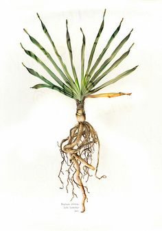 Looking for original botanical paintings or prints of Proteas, Aloes, South African flora? I paint in watercolour on commission and sell high quality prints. Botanical Art, Botanical Illustration, Illustration Art, Illustrations, Africa Painting, Protea Flower, Artist Names, Beautiful Paintings, Trees To Plant