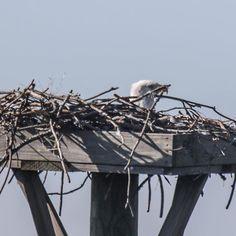 Love to see this white head sitting atop the nest. #yearofthebird #eaglet #birdsofinstagram @audubon_sc #naturetherapy