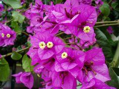 balkonpflanzen sonnig blumen bougainville drillingsblume exotisch tropisch