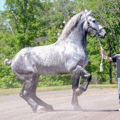 Most Beautiful Horses, All The Pretty Horses, Baby Horses, Draft Horses, Percheron Horses, Andalusian Horse, Arabian Horses, Beautiful Creatures, Animals Beautiful