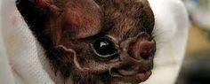 Image result for vampire bat images