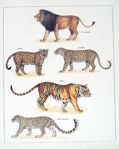 León Jaguar leopardo tigre leopardo de las por mysunshinevintage
