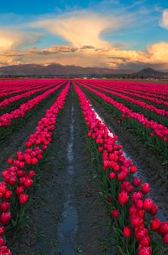 Tulip Festival Washington, Champs, Beautiful Flowers, Beautiful Places, Tulips Garden, Tulip Fields, Purple Tulips, Sky And Clouds, Amazing Nature