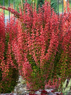 This is a deciduous shrub meaning it looses its leaves in winter. Its color is deep and rich. Nice when planted togather Shrubs For Landscaping, Garden Shrubs, Garden Trees, Trees To Plant, Landscaping Ideas, Garden Plants, Orange Rocket Barberry, Barberry Bush, Dwarf Shrubs